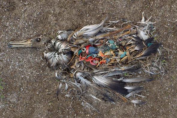 Midway-bird-corpse-2