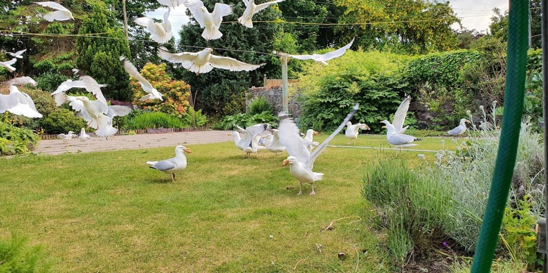 gulls eating bread